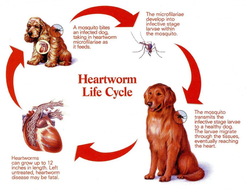 Natural Cure For Heart Disease In Dogs